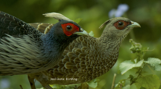 Kalij Pheasants – Our backyard Neighbours!